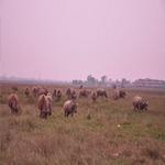 Tài chính - Bất động sản - Đô thị sinh thái dùng để... chăn bò!