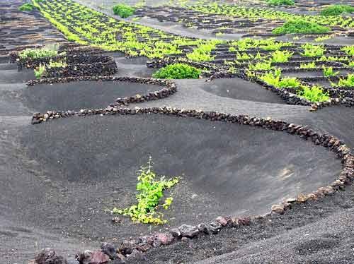 'Vườn nho sao băng' trên đảo núi lửa Lanzarote