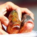 """Phi thường - kỳ quặc - Bắt được """"cá ăn thịt người"""" ở Trung Quốc"""
