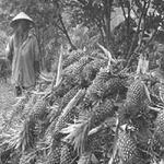 Thị trường - Tiêu dùng - TQ gom nông sản: Thương nhân nội tiếp tay