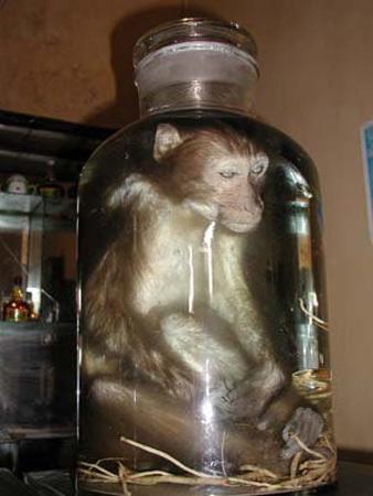 Thịt khỉ: Thần dược hay thuốc độc? - 2