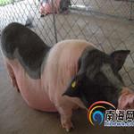 Thị trường - Tiêu dùng - Thịt lợn TQ siêu sạch, giá siêu đắt