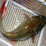 Ẩm thực - Chua chua lẩu cá lăng nha đuôi đỏ