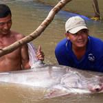 Tin tức trong ngày - Cá tra dầu nặng 86 kg sa lưới ngư dân