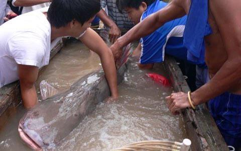 """Cá tra dầu """"khủng"""" ở An Giang đã chết - 1"""