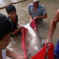 """Cá tra dầu """"khủng"""" ở An Giang đã chết"""
