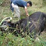 Tin tức trong ngày - Huế: Nghẹt thở cuộc săn bò tót ở sân bay