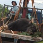 Tin tức trong ngày - 5 cái chết đau xót của động vật quý ở VN