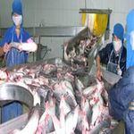 Thị trường - Tiêu dùng - Giá cá tra tăng, người nuôi vẫn lỗ nặng