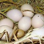 Tin tức trong ngày - Nghệ An: Kỳ lạ trứng gà bé bằng ngón tay