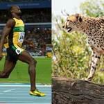 Olympic 2012 - Usain Bolt đọ tài cùng báo đốm Cheetah