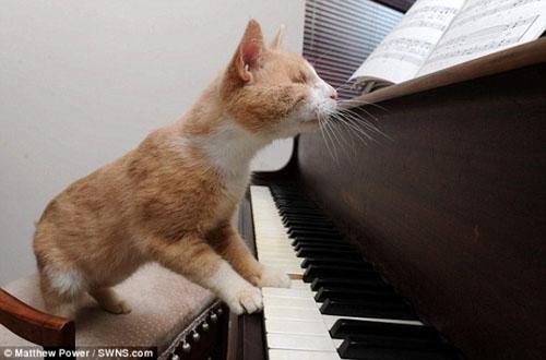 Chú mèo mù mê chơi piano - 3
