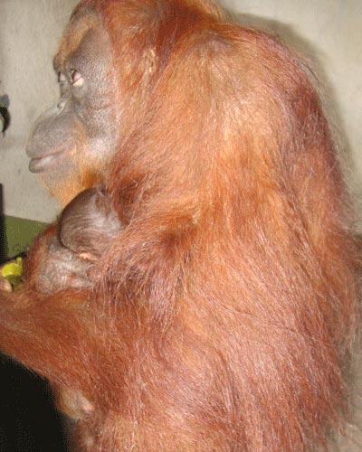 Hình ảnh đáng yêu của mẹ con đười ươi ở Đầm Sen - 1