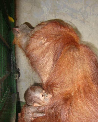 Hình ảnh đáng yêu của mẹ con đười ươi ở Đầm Sen - 2