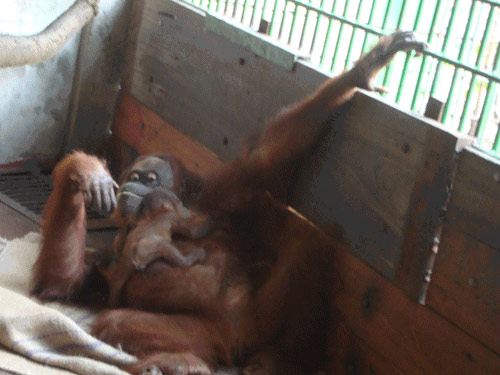 Hình ảnh đáng yêu của mẹ con đười ươi ở Đầm Sen - 4