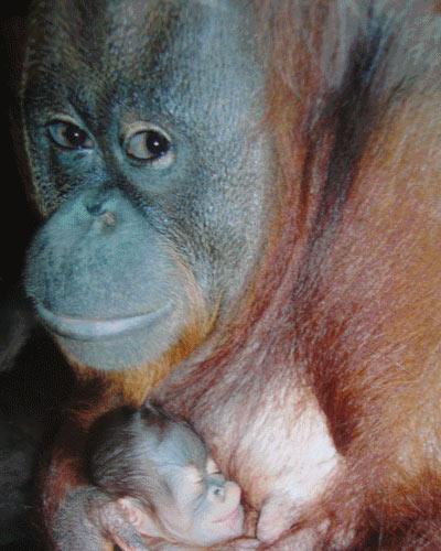 Hình ảnh đáng yêu của mẹ con đười ươi ở Đầm Sen - 6