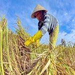 Thị trường - Tiêu dùng - Giá lúa bắt đầu tăng trở lại