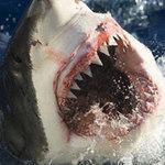 """Tin tức trong ngày - Nanh cá mập có sẵn """"kem đánh răng"""""""