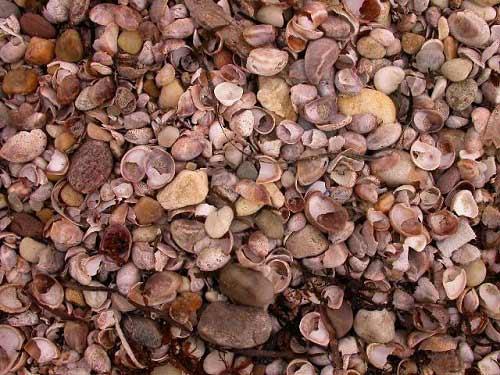 Những bãi biển vỏ sò tuyệt đẹp của thế giới - 14