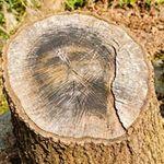 Phi thường - kỳ quặc - Chúa Giêsu hiện hình trên thân cây