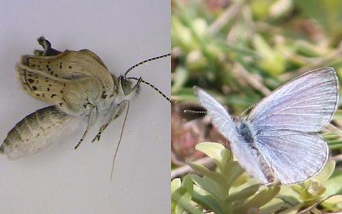Xuất hiện loài bướm khác thường ở Fukushima - 1