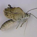 Tin tức trong ngày - Xuất hiện loài bướm khác thường ở Fukushima