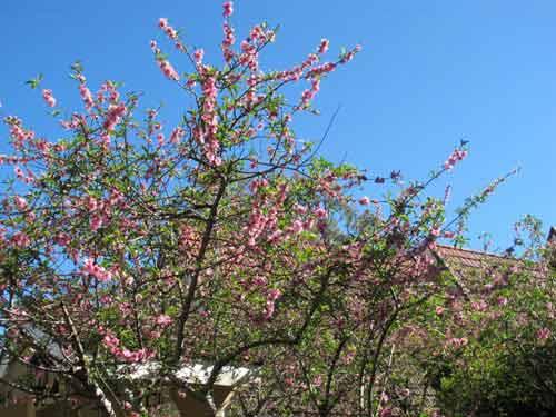 Hoa đào Việt nở rực rỡ trên đất Úc - 2