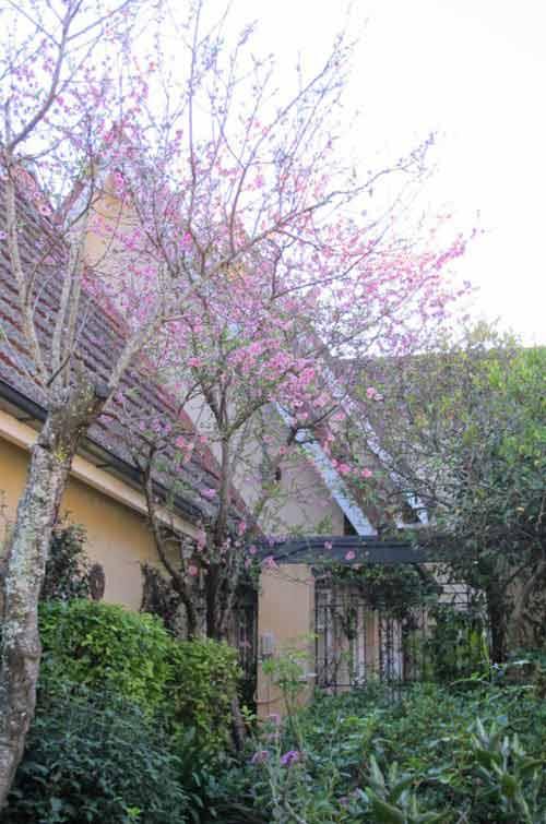Hoa đào Việt nở rực rỡ trên đất Úc - 10