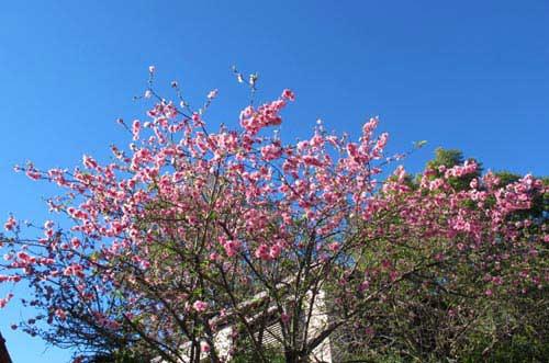 Hoa đào Việt nở rực rỡ trên đất Úc - 9