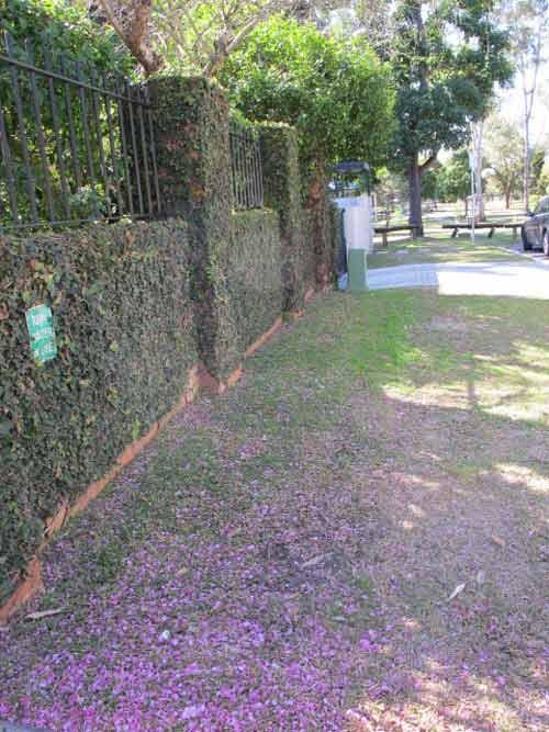 Hoa đào Việt nở rực rỡ trên đất Úc - 11