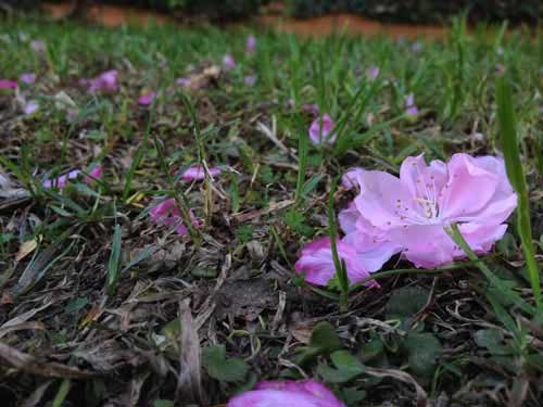 Hoa đào Việt nở rực rỡ trên đất Úc - 12