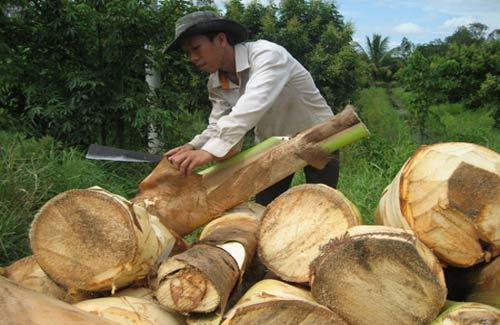 Sóc Trăng: Ồ ạt trồng dừa lấy cổ hũ - 1