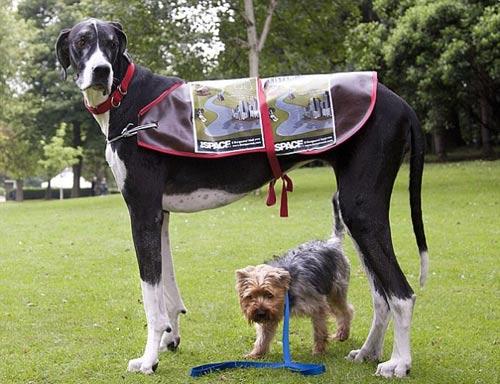"""""""Siêu mẫu"""" cún cao nhất thế giới - 1"""