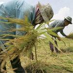"""Thị trường - Tiêu dùng - Thái Lan khư khư """"ôm"""" gạo chờ giá tăng"""