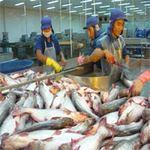 Thị trường - Tiêu dùng - Tạm trữ cá tra: Vẫn khó cứu người nuôi
