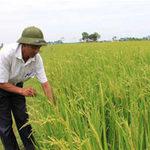 Thị trường - Tiêu dùng - Lúa giống phụ thuộc Trung Quốc