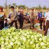 Nhật Bản: 6 người chết vì ăn bắp cải