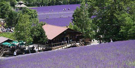 Ngây ngất Hokkaido mùa hoa oải hương - 1