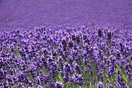 Ngây ngất Hokkaido mùa hoa oải hương - 4