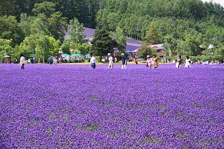 Ngây ngất Hokkaido mùa hoa oải hương - 5