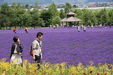 Ngây ngất Hokkaido mùa hoa oải hương - 6
