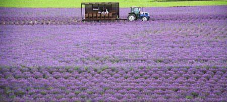 Ngây ngất Hokkaido mùa hoa oải hương - 7