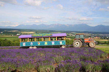 Ngây ngất Hokkaido mùa hoa oải hương - 3
