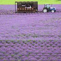 Ngây ngất Hokkaido mùa hoa oải hương