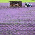 Du lịch - Ngây ngất Hokkaido mùa hoa oải hương