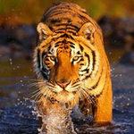Tin tức trong ngày - Đức: Hổ xổng chuồng cắn chết người