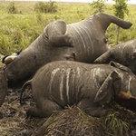 Tin tức trong ngày - 2 con voi chết bất thường trong vườn quốc gia