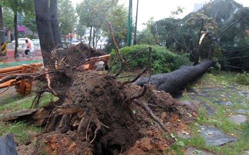 Chùm ảnh bão Bolaven tàn phá Hàn Quốc - 7