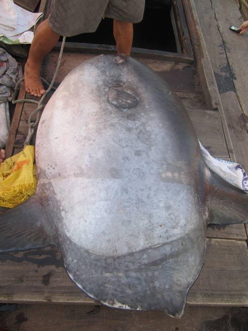 Cá Mặt trăng nặng hơn 100kg mắc lưới ngư dân - 3