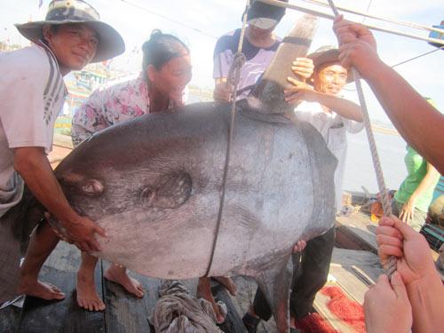 Cá Mặt trăng nặng hơn 100kg mắc lưới ngư dân - 4